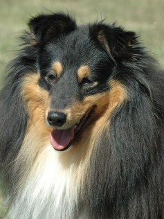 Shelties von der Ahornallee Willi